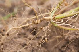 file nitrogen fixing nodules in the roots of legumes jpg