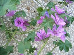 plante vivace soleil fleur vivace mauve infusion mauve forestier rhone alpes