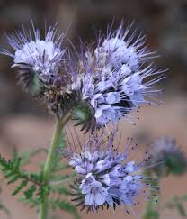 montana native plants for the native plant novice when