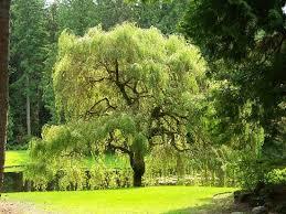 weeping willow tree picture of kitsap tours bainbridge island