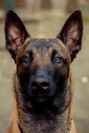 belgian sheepdog youtube belgian shepherd malinois belgian malinois pinterest