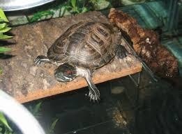 the best pet turtle basking platform is custom made pet turtles