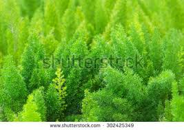 emerald asparagus fern stock images royalty free images vectors