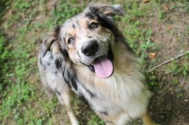 australian shepherd spaniel mix australian shepherd archives carolina hearts aussie rescue