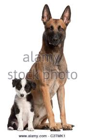belgian shepherd 4 months belgian shepherd dogs stock photos u0026 belgian shepherd dogs stock