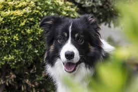 australian shepherd and border collie free images white portrait border collie fun animals hairy