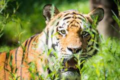 tiger jungle stock photos 9 904 images
