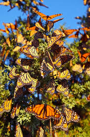 Monarch Migration Map Monarch Butterfly Migration In Crisis Beauty On The Wing