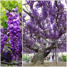 100 Wisteria Flower Tunnel Japan 25 Best Memes About