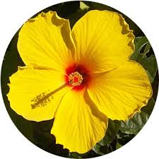 Yellow Hibiscus Flowers - 33 types of yellow flowers proflowers blog