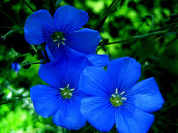 of blue flowers