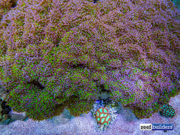 Aquascaping A Reef Tank This Giant Hammer Coral Is The Aquascape Coral Euphyllia Hammer