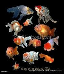 chn 0020 goldfish fish aquarium fish fresh water fish freshwater