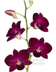 Dendrobium Orchid Dendrobium Orchid Miss Singapore U2013 Orchidclub Us Fresh Cut Orchid