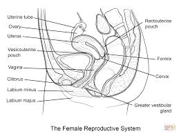 female reproductive system coloring page free printable coloring