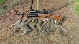 How To Hunt Squirrels In Your Backyard by Pest Control With Air Rifles Sniper Cam Squirrel Shooting