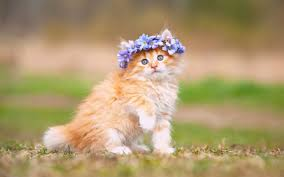 cat breeds list search 60 cat breeds with pictures