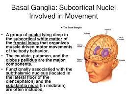 Floor Of The Cranium Brain U0026 Cranial Nerves