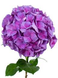 blumen lila hortensie
