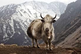 domestic yak wikipedia