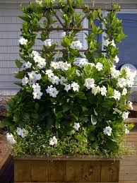 mandavilla prefer pink in pool planters or on pool fence outdoor