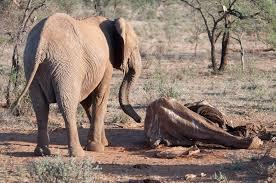 elephants u2013 eia global