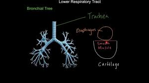 the respiratory system introduction anatomy and membranes