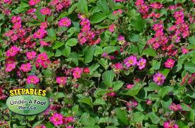 stepables plants that tolerate foot traffic