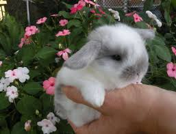 best 25 dwarf bunnies for sale ideas on pinterest baby bunnies
