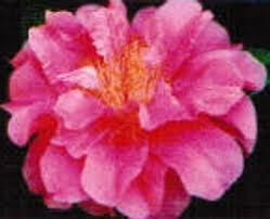 camellias beginning with r american camellia society