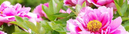 Most Fragrant Plants - fragrant perennials fragrant plants american meadows