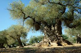 giving new to ancient olive trees in spain kapothanasis