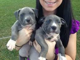 blue nose american pitbull terrier american pit bull terrier puppies for sale pure bred blue nose
