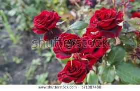 rose garden stock images royalty free images u0026 vectors shutterstock