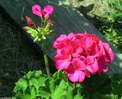 Geranium by Growing Geraniums From Seed