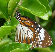 butterfly lepidoptera observations in and laos with