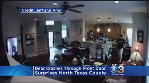 deer crashes through front door in north texas home youtube