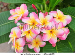 plumeria flowers plumeria flower stock images royalty free images vectors