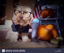 boxer puppy halloween costumes dog halloween costume stock photos u0026 dog halloween costume stock