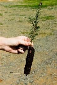 seedlings transplants from jim rockis reliable source seeds