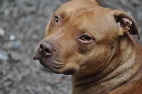 american pitbull terrier apbt explain this please true apbt vs akc page 2 pitbulls go