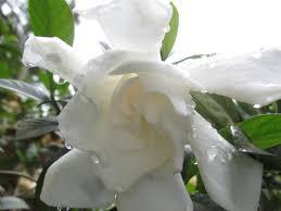 Gardenia Flower A Photograph To Inspire Poetry Gardenia Flower U2013 M Sakran U0027s Blog