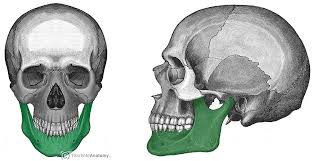 Human Jaw Bone Anatomy The Mandible Structure Attachments Fractures Teachmeanatomy