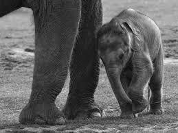 how long do elephants stay pregnant