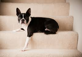 dog stairs u0026 ramps uses u0026 top choices american kennel club
