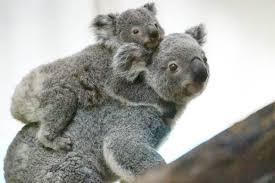 mother koala goodbye leaves young koala joey