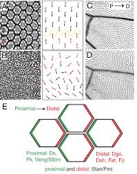 tissue planar cell polarity in vertebrates new insights and new
