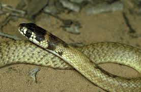 Where To Find Snakes In Your Backyard 8 Myths About Snakes Museums Victoria