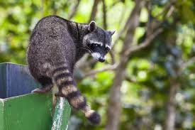 raccoon control removal trapping and management