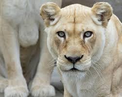 white lion cincinnati zoo u0026 botanical garden